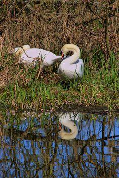 Swans at Attingham Park