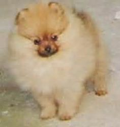 Secret Shortcuts to Pomeranian for Sale That Only a Few People Know About