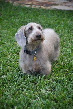 Resultado de imagem para grey wire haired dachshund