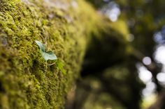 https://flic.kr/p/Mffc9q | Voyageuse solitaire | Une feuille de lierre voyageant sur un tronc mousseux. By Melti Lanista