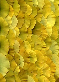 Ginko Biloba by 'Horticultural Art' on Flickr