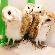 cute owl – Diy Gifts For Friends Owl Photos, Owl Pictures, Funny Animal Pictures, Cute Funny Animals, Cute Baby Animals, Animals And Pets, Cute Birds, Cute Owl, Beautiful Owl