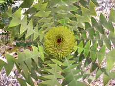 Bird's nest Banksia.