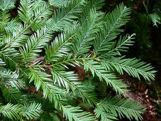 Family: Cupressaceae, Sequoia sempervirens