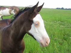 Fynn...black overo colt, two blue eyes...bruensacres.com