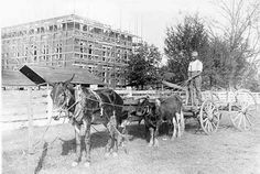 This workman used a wagon, a mule, and two oxen to help move materials used in building Samford Hall in 1888-90. The man held a separate line to each animal. Hitching posts were common in Auburn in those days. At this stage of construction, the building is recognized by its distinctive window trim. For many years, a white picket fence stood on the College Street side and a white board fence on the Thach Avenue side of Samford Park.