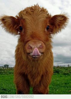 adorable I love baby cows. yes, I know calves. Cute Baby Animals, Farm Animals, Animals And Pets, Funny Animals, Wild Animals, Smiling Animals, Happy Animals, Cute Creatures, Beautiful Creatures