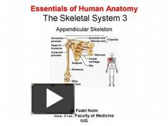 Essentials of Human Anatomy The Skeletal ... and pubis bones laterally and anteriorly Male and Female Pelvis Female iliac bones more flared broader hips pubic ...