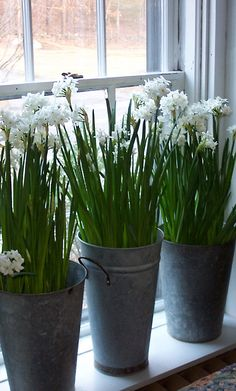 44 best paper whites images on pinterest in 2018 container garden paper whites throughout the house in french flower buckets mightylinksfo