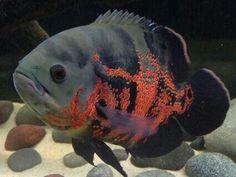 Oscar....cichlid evolved