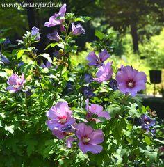 HIbiscus syriacus Russian Violet florecido en verano- Van desde el color rojo suave, rosado, malva, lila, blanco y azul violáceo. Florece profusamente desde mediados o finales del verano hasta el otoño.