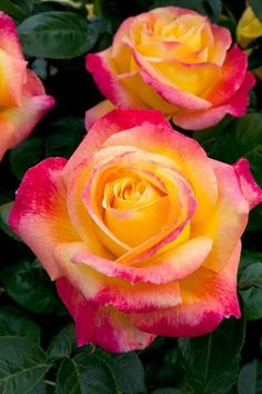 Asombrosa rosa rosada y amarilla | Amazing pink and yellow rose