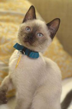 Blue point tonkinese kitten Siamese cats, Siamese