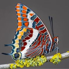 Stunning Macro Photos of Butterflies by Adam Gor - Stunning Macro Photos of Butterflies Cool Insects, Flying Insects, Bugs And Insects, Butterfly Wallpaper, Butterfly Art, Beautiful Bugs, Beautiful Butterflies, Beautiful Creatures, Animals Beautiful