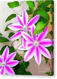 Buy a 11.00 x 14.00 stretched canvas print of Shelia Kempf's Clematis Trio for $49.00.  Only 9 prints remaining.  Offer expires on 04/25/2016.