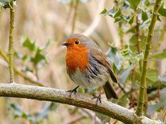 Robin, Bird, Wildlife, Wild
