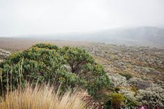 Paisaje de Tundra - PNN Los Nevados. Manizales, Colombia Vineyard, Mountains, Nature, Travel, Outdoor, Scenery, Places, Outdoors, Naturaleza