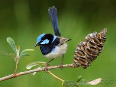 Superb blue wren - male Small Birds, Colorful Birds, Pet Birds, What Is A Bird, Kinds Of Birds, Australian Animals, Indigenous Art, Bird Pictures, Cockatiel