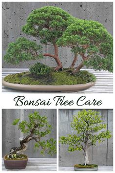 Bonsai tree care and Information. Tips for growing bonsai trees. Bonsai tree care and Information. Tips for growing bonsai trees. Bonsai Tree Care, Indoor Bonsai Tree, Indoor Plants, Bonsai Trees, Bonsai Soil, Bonsai Plants, Bonsai Garden, Bonsai Pruning, Garden Path