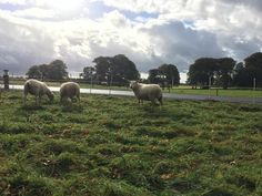 Awesome sheep grazing in the grass near awesome   House Estate #Wicklow #Ireland  Monday 10-17-16