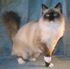 Ragdoll cat.  I've always wondered if my Frannie has some Ragdoll in her.