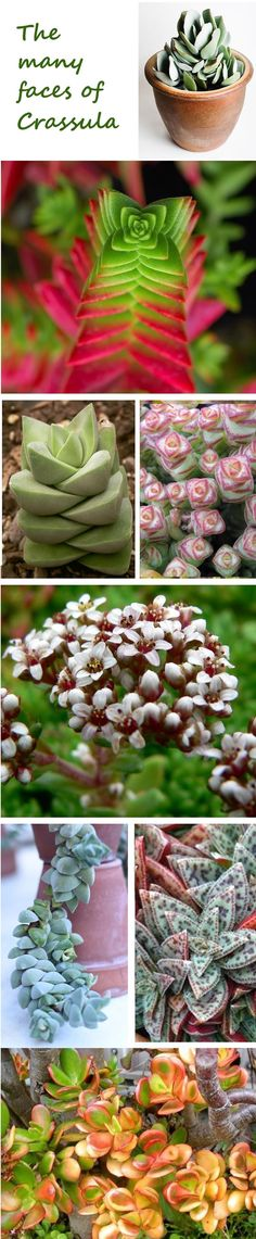 Crassula is a fascinating and varied genus of succulents, with many happy to grow indoors! :)