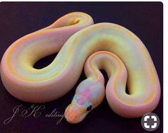Víbora amarilla con rosa y azul.