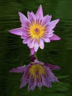 Water lily, Fairchild Tropical Botanic Garden, Florida