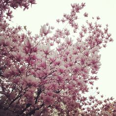 Going to have a Magnolia tree! Pretty In Pink, Beautiful Flowers, Beautiful Places, Magnolia Trees, Jane Magnolia, Flowers Nature, Pink Flowers, Spring Is Here, Garden Inspiration