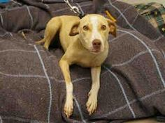 NO LONGER LISTED- Macon, GA Macon-Bibb County Animal Welfare Page Liked · May 18 · Edited ·    KENZIE - ID#A252006  My name is KENZIE.  I am a female, tan and white Labrador Retriever mix.  The shelter staff think I am about 1 year old.  I have been at the shelter since May 13, 2015.