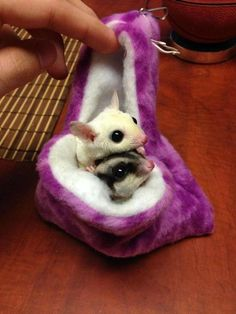 I miss having sugar gliders , maybe I should get me some more
