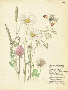 Flower Print - Daisy - Orange Butterfly Print - Vintage Botanical Book Plate Print - Diary of Edwardian Lady - Edith Holden - 1906