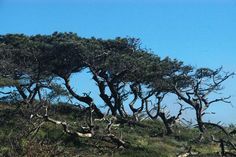 Torrey Pines (Pinus torreyana) of southern California, shaped by the regions Santa Anna winds. Notice the amount of debris on the ground, this is all windfall.