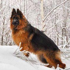 Discover Energetic German Shorthaired Pointer Dogs Exercise Needs German Sheperd Dogs, Black German Shepherd Puppies, Shepherd Dog, German Shepherds, Cute Dogs And Puppies, Big Dogs, German Shepherd Colors, German Shepherd Training, Schaefer
