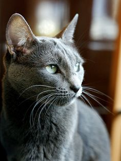 My ZOE' Was a Russian Blue Kitty! Beautiful Color. Zoe' was a Gorgeous Kitty and Very Sweet Gal. I <3 You Zoe and I Miss You More As Every Day Passes,,,You Are Loved.