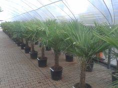 Trachycarpus fortunei, total hight 140/160 cm, price : 50.00 euro