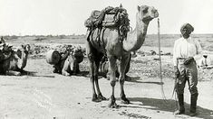 TIL That Afghans ''cameleers'' in 1800 helped Australia shape its outback. These cameleers opened the outback helped with the construction of the Overland Telegraph Line and Railways supplied stations with its goods and services. With little recognition. Australia Photos, South Australia, Western Australia, Australia 2018, First Fleet, Camels, Historical Photos, Old Photos, Westerns