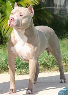 pitbull pics on Pinterest | Pitbull, Pitbulls and Pit Bull