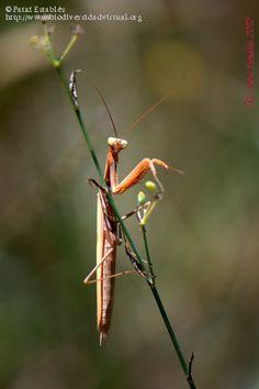Nombre científico: Mantis religiosa (Linnaeus, 1758), Provincia