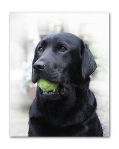 black lab + tennis ball.