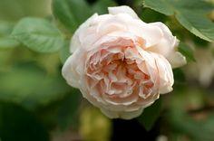 Hybrid Multiflora Rambling Rose: Rosa 'Ännchen von Tharau' (Austria-Hungary, before 1885)