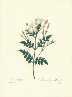 REDOUTE Botanical ROYAL SPANISH JASMINE Flower Art #68