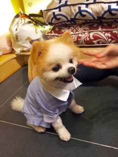 Dubai has his own Boo! See this lil gentleman wearing Blue Wonder Couture! Designer Aksana Demakina. Aksana launched her Pet Fashion Party last year at Pampered Pets.