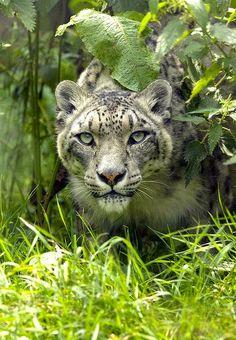 Snowleopard ~ETS #snowleopard #fuckinggorgeouscreatures #felines