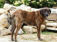 http://faaxaal.forumactif.com/t3499-photo-de-mammifere-chien-domestique-canis-lupus-familiaris-chiens-de-race-dogs-dogs-chienne-chiot-chiennes-chiots