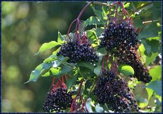 Holunder Fruit, Nature, Elder Flower, Acupuncture, Health, The Fruit, The Great Outdoors, Mother Nature, Scenery