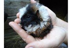 Meerschweinchen-Baby