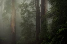 Plenty of foggy mornings up here... Dandenong Ranges in Victoria Australia.