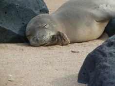 KAUA'I SEALS - Support & protection group. Photo is of Hawaiian monk seal RK54