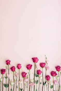 Pink roses on a pink background by Ruth Black for Stocksy United - Blumen Rosen - Flower Background Wallpaper, Rose Wallpaper, Flower Backgrounds, Colorful Wallpaper, Nature Wallpaper, Wallpaper Desktop, Rose Background, Beauty Background, Floral Wallpaper Iphone